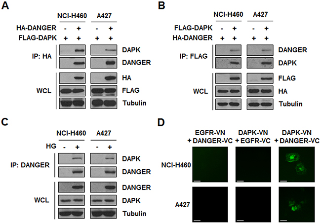 HG-induced DANGER physically interacts with DAPK in NSCLC cells.