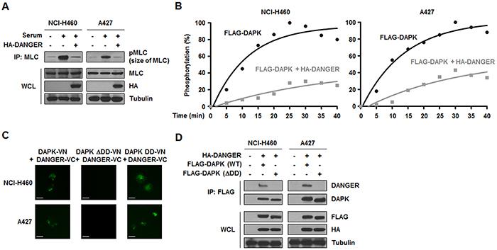 DANGER inhibits the catalytic activity of DAPK in NSCLC cells.