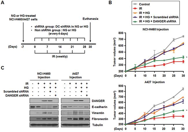 Knockdown of DANGER enhances in vivo radiosensitization and decreases in vivo EMT in a xenograft mouse model.