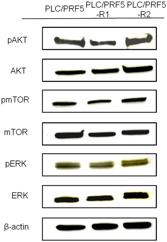 Expression of AKT/pAKT, mTOR/pmTOR, and ERK/pERK in sorafenib-resistant cells.
