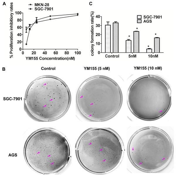 YM155 inhibits anchored-dependent and anchored-independent growth in gastric cancer cells.