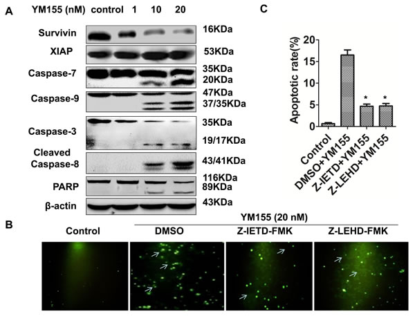 YM155 triggers intrinsic and extrinsic apoptotic pathways.