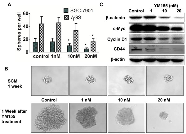 YM155 inhibits formation and expansion of gastric cancer spheres.