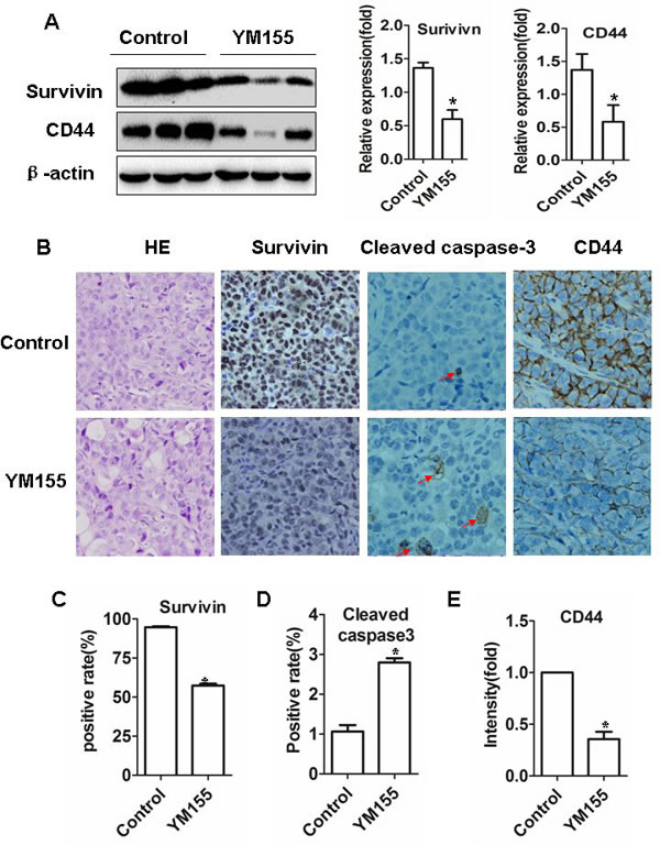 YM155 induces apoptosis and inhibits gastric CSCs