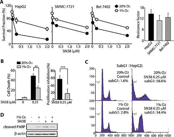 HCC cells were resistant toward SN-38 under hypoxia.