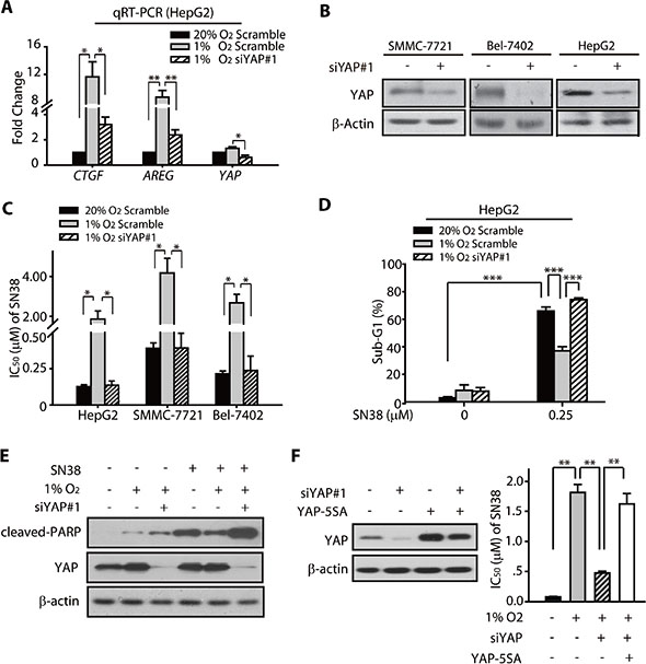YAP promoted the hypoxic resistance of HCC cells to SN38.