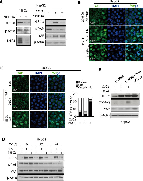 The nuclear translocation and accumulation of YAP was not mediated by HIF-1α.