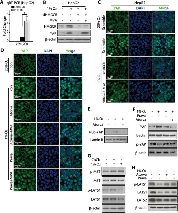 HMGCR-mevalonate pathway contributed to the hypoxia-modulated YAP pathway.