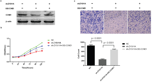 Rescue of proliferation and migration by over-expression of CCNE1 in ZYG11A-depleted cells.