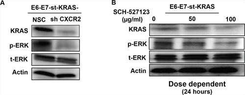 CXCR2 regulates levels of KRAS as a feed-forward loop.