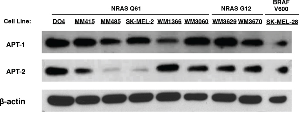 Immunoblots of APT-1 and APT-2 expression in melanoma cell lines.
