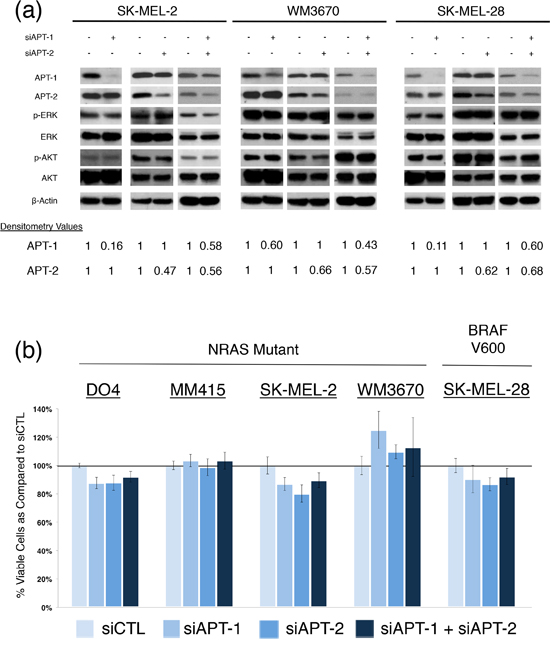 siRNA knock down of APT-1 and APT-2 in NRAS and BRAF mutant melanoma.