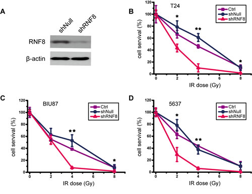 Knockdown of RNF8 impairs the radioresistance of bladder cancer cells.
