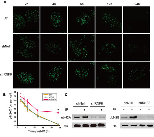 shRNF8 disrupts the DDR post-irradiation in bladder cancer cells.
