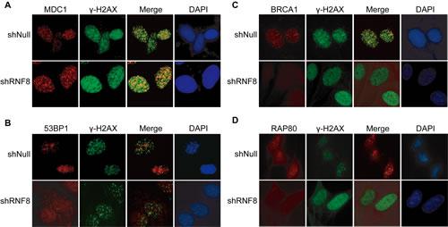 RNF8-related factors in the DSB repair pathway.