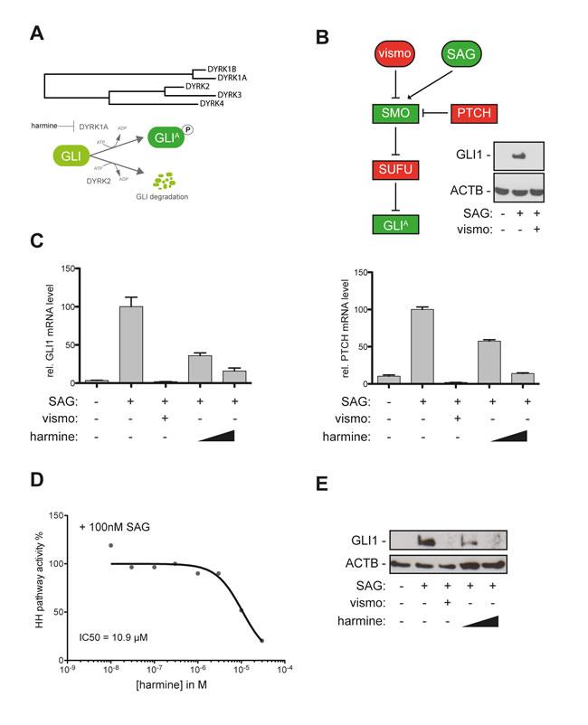 The DYRK1 inhibitor harmine blocks canonical HH/GLI signaling.