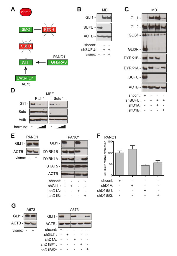 DYRK1B targeting inhibits SMO-dependent and SMO-independent activation of GLI.
