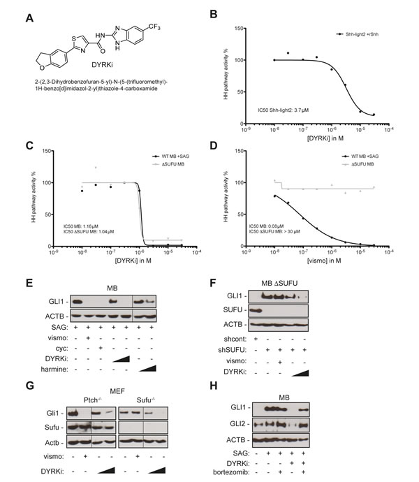 A novel DYRK1 inhibitor efficiently repressing SMO-dependent and SMO-independent GLI1 expression.