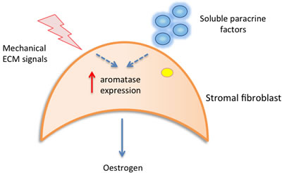 Figure 1a: Local paracrine and mechanical signals may contribute to increased stromal aromatase expression, resulting in increased local oestrogen production and epithelial cell proliferation.