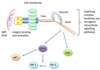 The focal adhesion component vinculin is activated in response to stiff ECM, forming a stable talin-vinculin-actin complex which promotes pro-oncogenic signalling pathways.