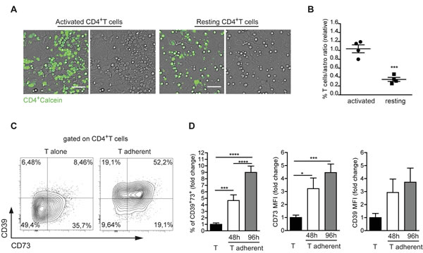 Astrocytes promote CD39 and CD73 expression in recently activated CD4 cells.