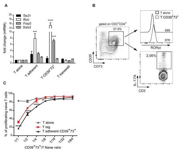 CD39 and CD73 upregulation correlates with immunosuppressive Th17 phenotype.