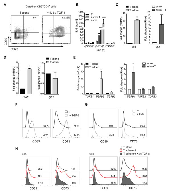 TGF-β promotes CD39 and CD73 upregulation in T cells.
