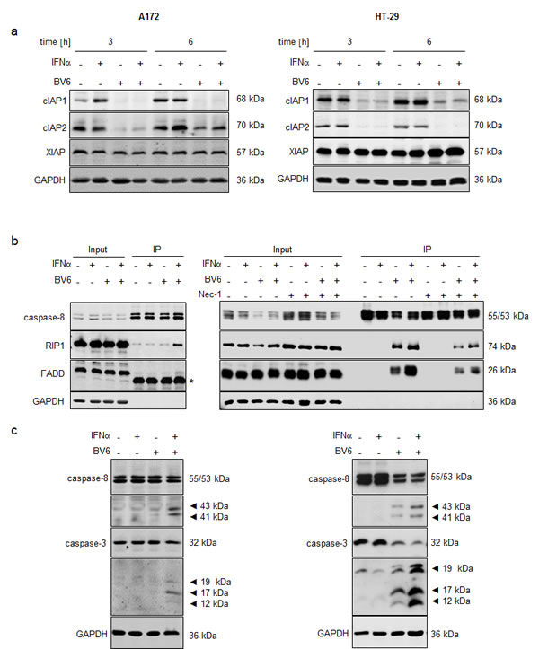 IFNα/BV6 cotreatment induces IAP depletion, complex II formation and caspase activation.