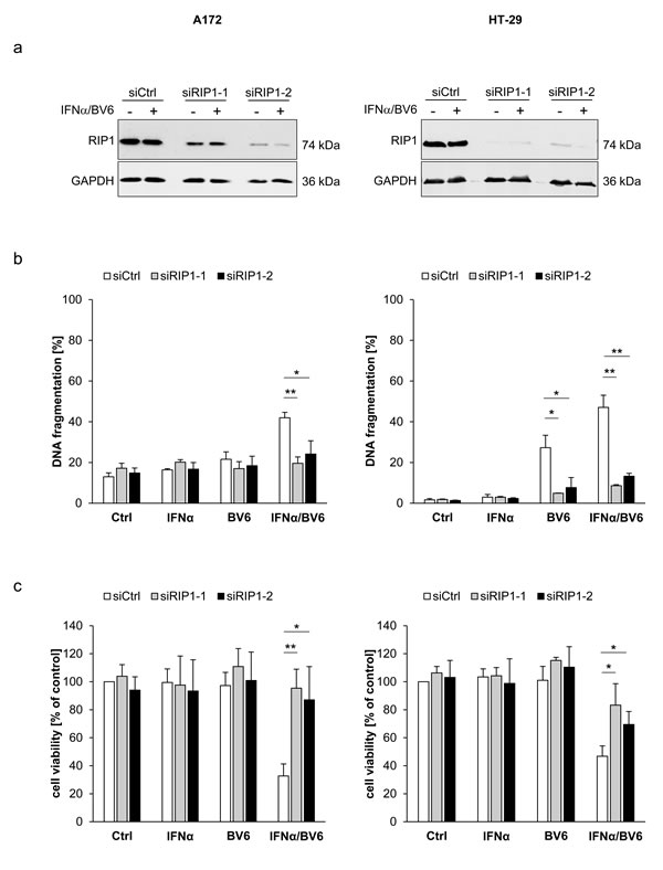 IFNα/BV6-induced cell death depends on RIP1.