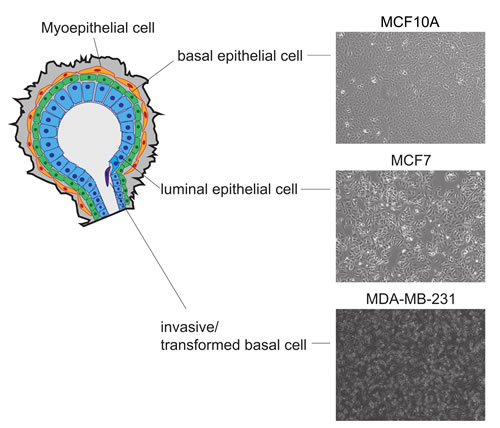 Characteristics of cell lines used to model the diverse heterogeneity observed in breast cancer.