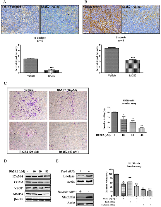The role of α-enolase and stathmin in Rh2E2-inhibited cancer cells invasion.
