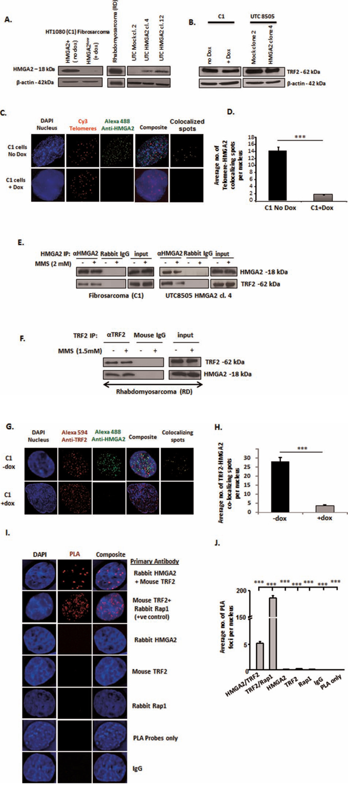 HMGA2 interacts with TRF2.