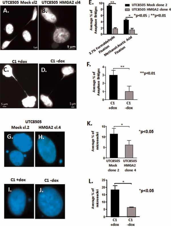 HMGA2 reduces telomere instability.