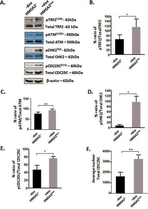 HMGA2 affects the phosphorylation of TRF2 and the telomeric signaling cascade.