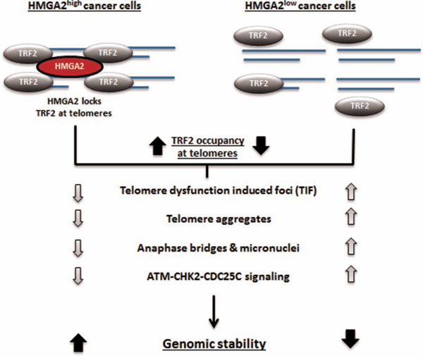 Schematic illustration of the proposed interaction of HMGA2 with TRF2 at telomeres and the resulting functional consequences for telomere stability.