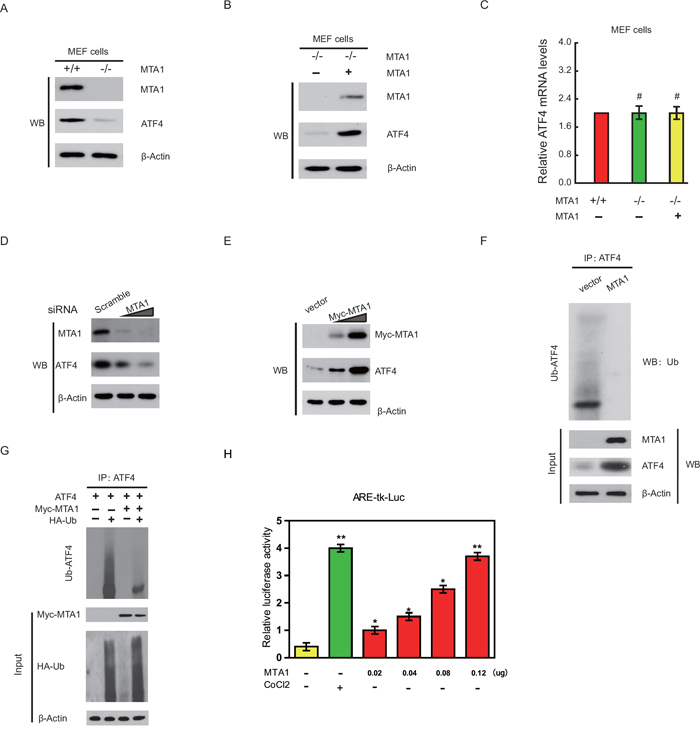 MTA1 stabilizes ATF4 protein and enhances its transcriptional activity.