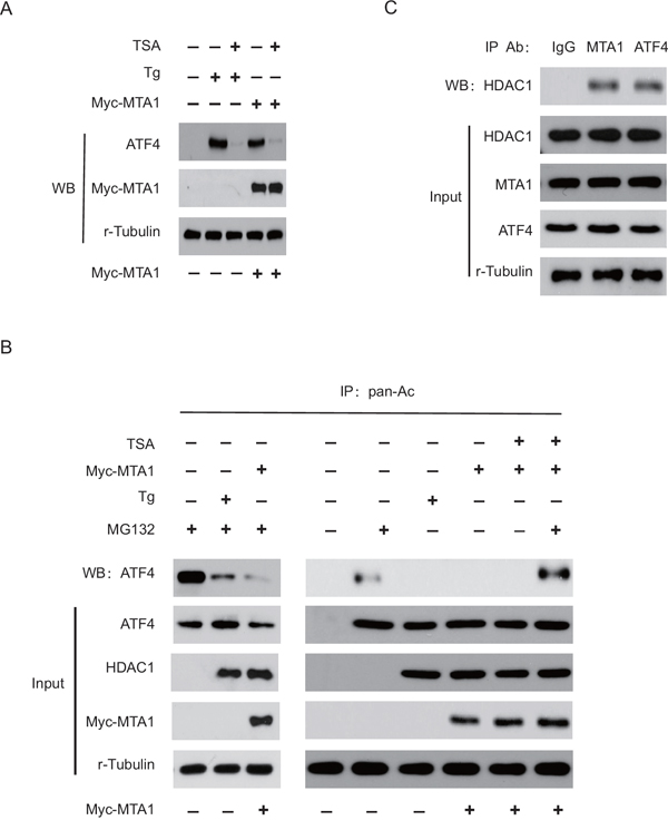 HDAC1 promotes the MTA1-induced stabilization of ATF4.