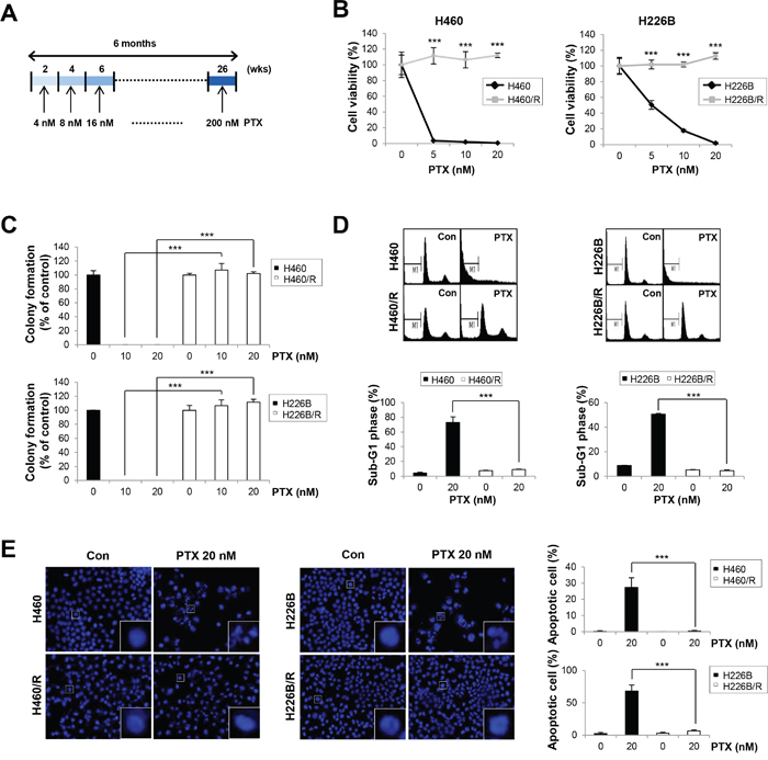 Establishment of PTX resistant cell lines.