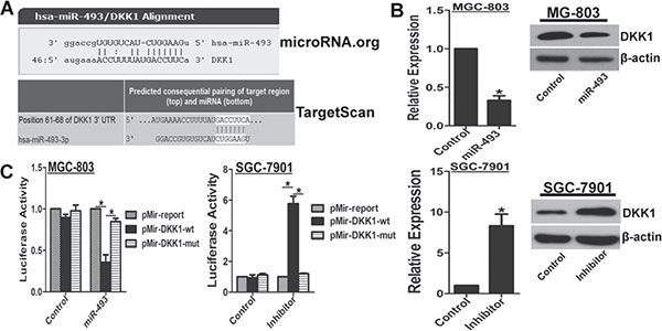 miR-493 directly targets DKK1.