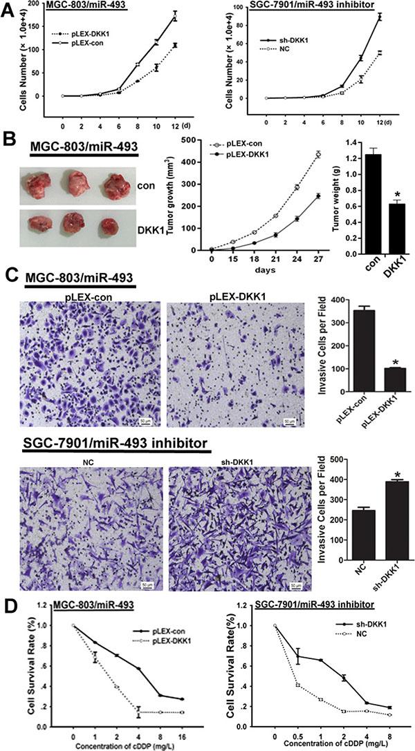 DKK1 reverses the function of miR-493 in GC cells.