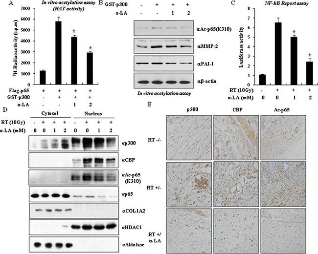 α-LA antagonizes p300-mediated p65 acetylation.