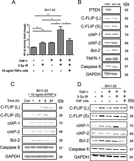 Impact of radiation-induced THP-1 derived TNF-α on NFκB pro-survival signaling.