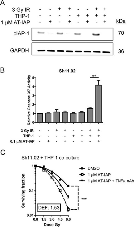 Assessment of the radiosensitizing potential of AT-IAP in Sh11.02 cells.