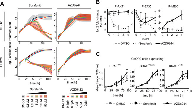 RAF inhibitor induced AKT phosphorylation leads to inhibition of proliferation in KRAS/BRAF wildtype cells.