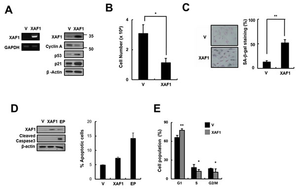 Effects of XAF1 on the upregulation of cellular senescence in young HMVECs.