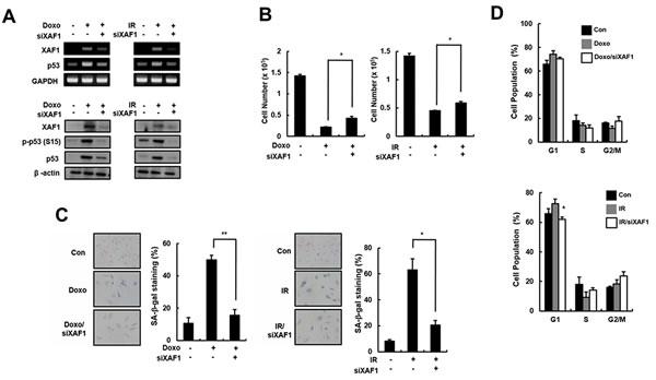 Partial reverse of premature senescence by XAF1 downregulation in HMVECs.