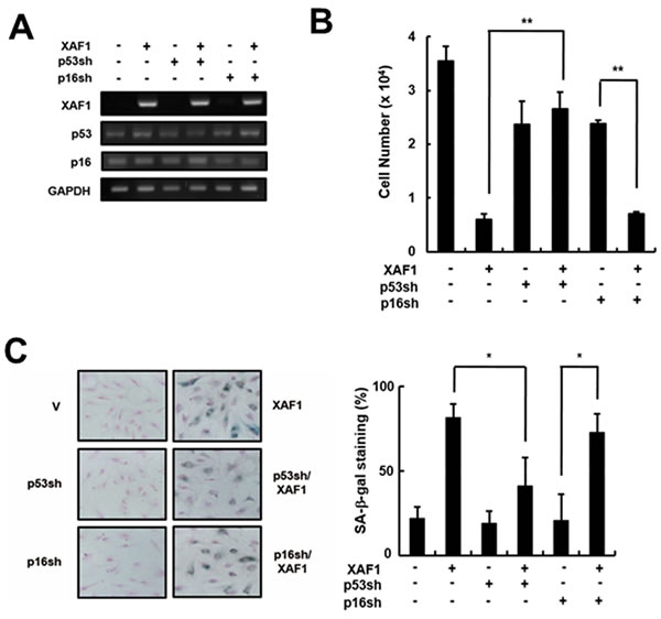 Effects of p53 or p16 knockdown on cell growth arrest induced by XAF1.