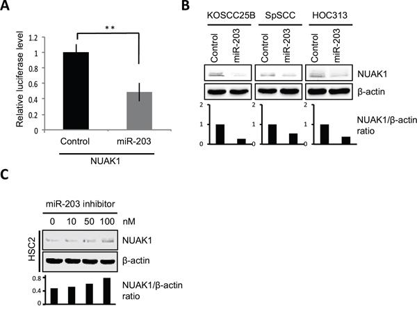 miR-203 suppresses NUAK1 expression.