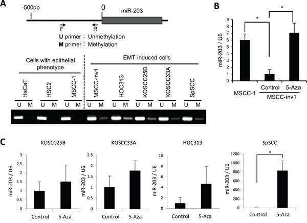 Downregulation of miR-203 by hypermethylation.