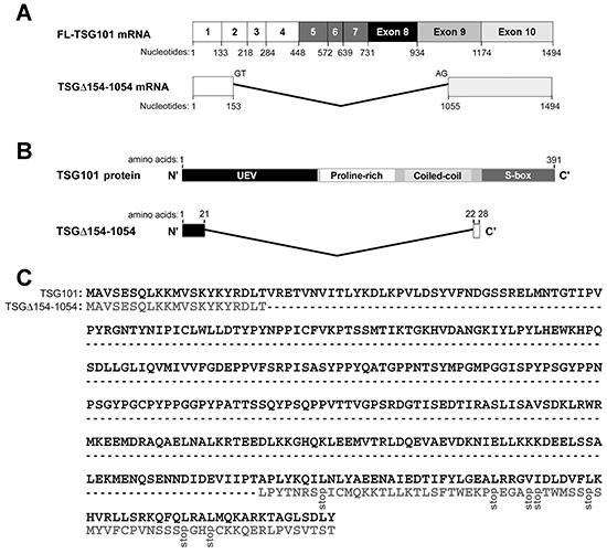 TSGΔ154-1054 mRNA and protein.